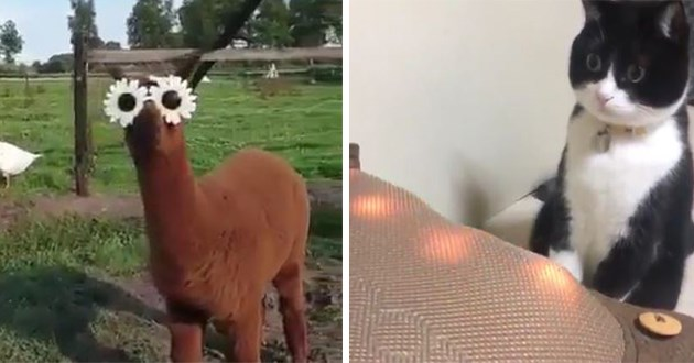 animals gifs funny lol cute aww adorable wholesome uplifting | silly video of a brown llama alpaca wearing sunglasses shaped like flowers | black and white cat mesmerized by red lights shining in front of it