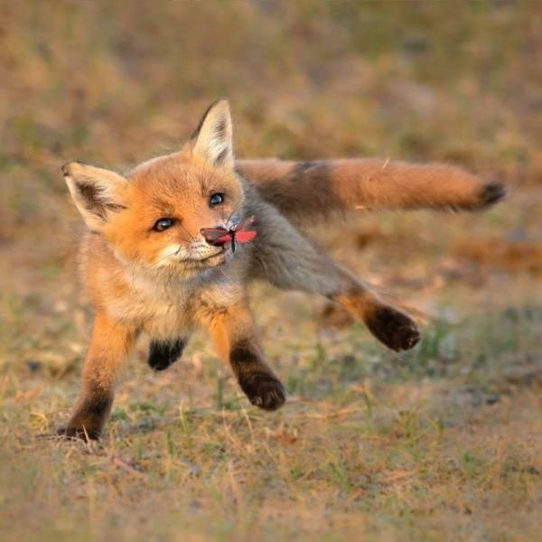 Amazing animal photos | funny pic of a little red fox with dark feet running in a field and a butterfly landing on its nose