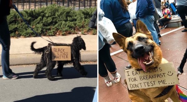 When The Good Boys Join The BLM Protest For Justice | scruffy black dog on a leash and a sign hanging from its back that reads BLACK LIVES MATTER | cute german shepherd with its tongue hanging out wearing a sign around its neck EAT RACISTS BREAKFAST DON'T TEST
