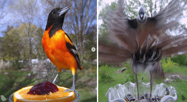 Incredible Photos Of Birds | long exposure blurry photo of a bird flapping its wings and landing in a glass bowl | interesting beautiful bird with a black head and bright orange chest standing on a slice of orange