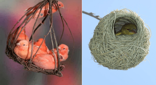 Bird nest architecture | cage like hanging nest made of sticks with multiple small red birds sitting on the bottom and one climbing on the top | round shaped nest tightly woven with a little bird peeking out