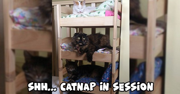 catnap cats tiny beds aww cute small adorable sleeping napping pics | Shh... catnap in session three different colored cats sleeping in a triple bunk beds