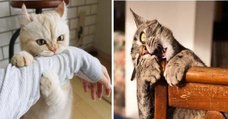 Vicious cats attacking | adorable cream colored cat nibbling on a person's arm while hugging it with its paws | cute grey cat chewing on a wooden bed frame