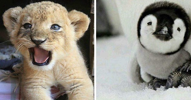baby animals aww cute adorable precious wholesome uplifting pics | little baby lion cub roaring opening its mouth | tiny small penguin chick with fluffy fuzzy plumage