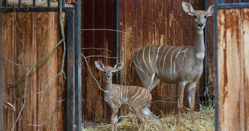 calf,zoo,kudu