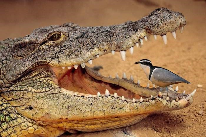 Eight Surprising Examples Of Symbiosis Relations In The Animal Kingdom | small bird Egyptian plover sitting in an open crocodile's mouth cleaning its teeth by feeding on the food stuck there