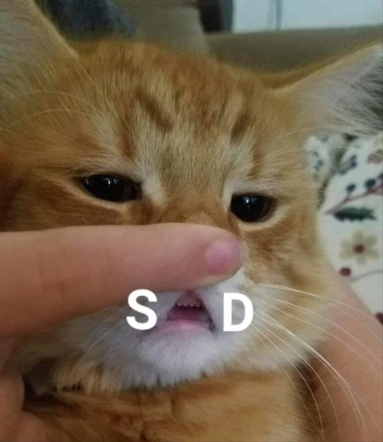 Fresh animal memes | cute and funny pic of an orange cat having its lip pulled back teeth exposed so that its mouth is shaped liked the letter A SAD
