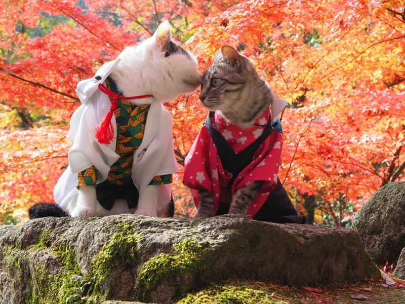 Photo shoot cats cosplaying | cute cat couple dressed in tradiotional Japanese clothes colorful kimono yukata sitting on a rock under autumnal scene red and orange trees