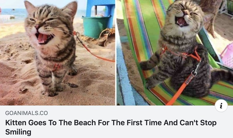 Wholesome animal memes | GOANIMALS.CO Kitten Goes Beach First Time And Can't Stop Smiling cute cat on a leash with its mouth open in a smile while walking in sand