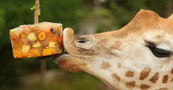 popsicles animals treats summer hot heat cool down delicious cute aww | cute adorable giraffe licking a block cube of frozen fruit snack hanging from a rope