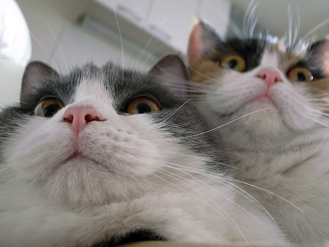 Photos of hacking cats | funny silly pic of two cats squeezed together taken from a low angle as they accidentally activate the laptop web camera
