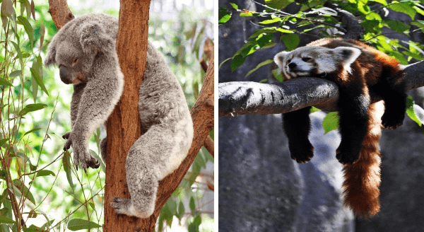 Photos of lazy animals in summer | funny pic of a koala bear sleeping in a tree with its arms and legs hanging down | cute red panda asleep on a branch with all limbs and tail hanging under it