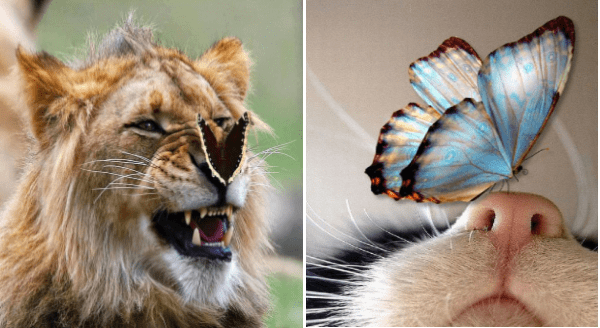 Animals With Butterflies | cute magical photo of a lion wildcat with a butterfly sitting on its nose | adorable zoomed in closeup photo of a blue butterfly landing on a cat's pink nose