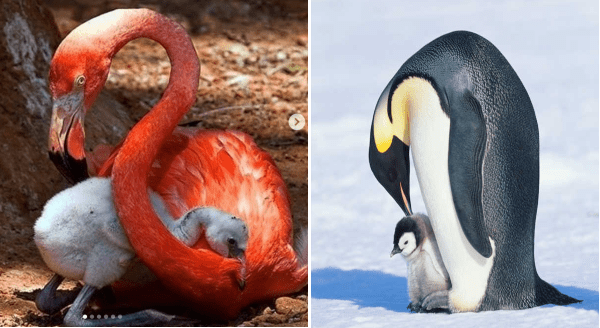 The Greatest Dads In The Animal Kingdom | adult flamingo sitting on the ground with a grey baby flamingo bird cradled in its long neck | large adult penguin bending down to touch its beak to a small chick