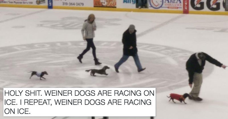 dogs daschund hockey races twitter