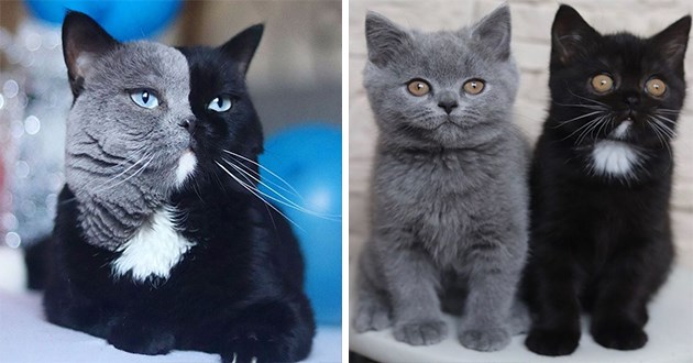 chimera cat kittens dad instagram aww animals colors beautiful father father's dad | cool photo of a cat with his face split perfectly in half one side black and the other grey and two kittens one fully grey and the other all black