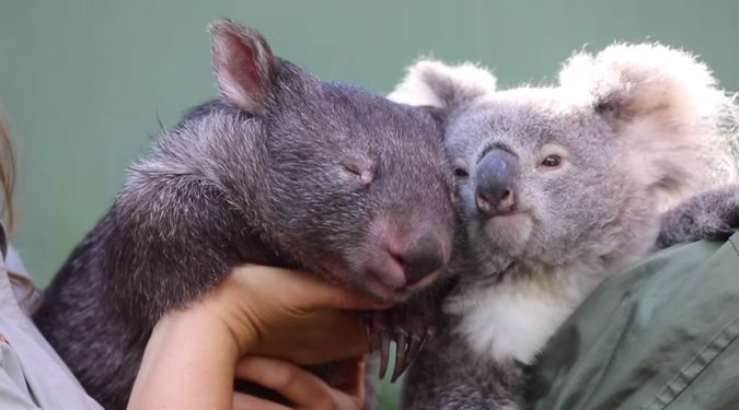 wombat koala friendship lockdown aww love beautiful animals adorable cute covid19 australia wildlfie park
