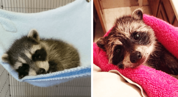 Photos of cute raccoons | adorable baby raccoon sleeping in a hammock made of a soft blanket | sweet wet raccoon wrapped up in a pink towel
