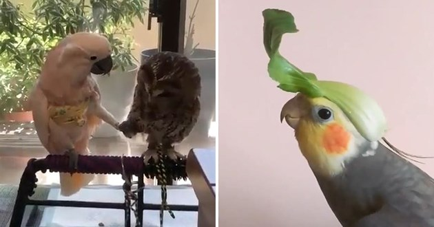 birb birds funny lol cute aww animals adorable uplifting vids gifs | two bird owl and parrot shaking legs together | silly bird parakeet with a leaf on its head