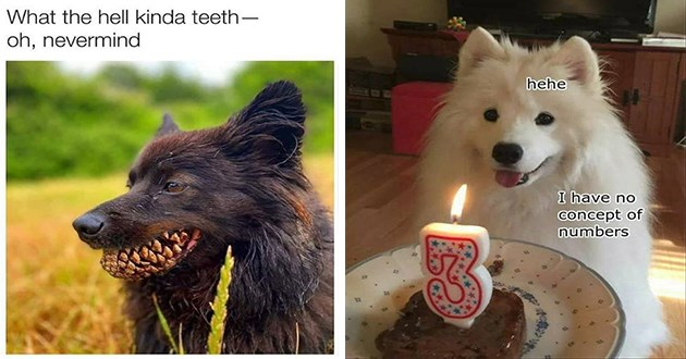 dogs doggo memes funny dog lol aww adorable cute animals wholesome | hell kinda teeth- oh, nevermind dog holding a pine cone in its mouth | hehe have no concept numbers cute white dog with a birthday cake and a candle shaped like the number 3