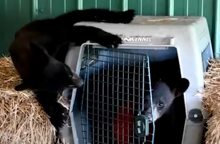 bears cubs best friends rescued rehabilitation black bear aww animals wildlife | cute baby bear coming out of a cage as another bear peeks at it from the side