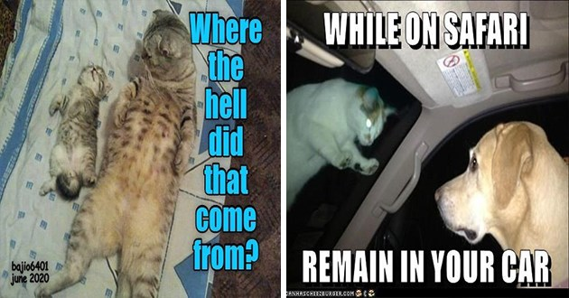 lolcats cats funny memes cat aww cute animals meme lol animals original ichc | adorable cat lying on its back looking at a kitten Where hell did Come bajio6401 june 2020 | WHILE ON SAFARI REMAIN CAR ICANHASCHEEZBURGER.COM dog inside a car looking at a cat with glowing eyes standing on the windshield