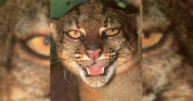 creepy cats bornean bay lol funny aww animals wildcats cute