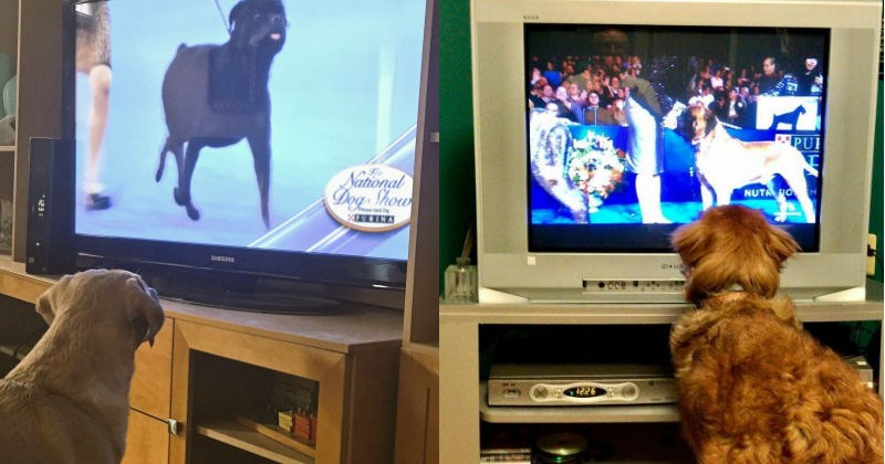 dog show dogs TV - 1182981