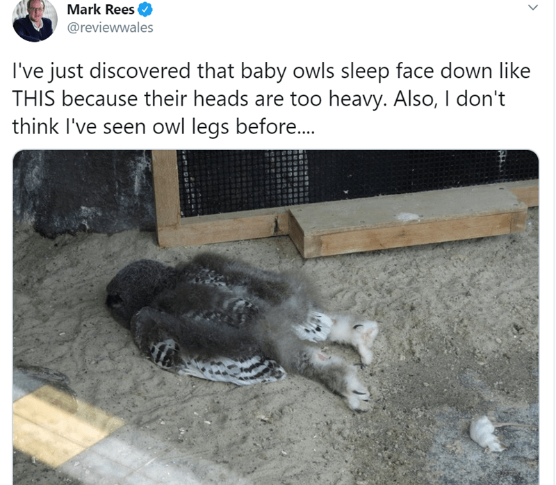 Baby Owls Sleep With Their Faces Down | Mark Rees @reviewwales just discovered baby owls sleep face down like THIS because their heads are too heavy. Also don't think seen owl legs before..