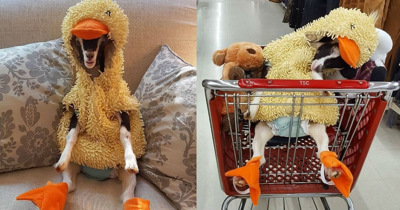 Polly the Goat Feels Safest When She's Hearing Her Duck Costume