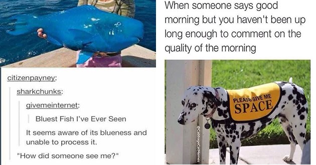 animal memes funny lol animals aww cute hilarious | Bluest Fish l've Ever Seen seems aware its blueness and unable process did someone see ifunny.co | someone says good morning but haven't been up long enough comment on quality morning dog wearing a vest that reads PLEASE GIVE SPACE @CabbageCatMemes