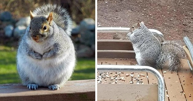 chonky squirrels animals lol squirrel pics funny cute aww adorable pics photos munching chewing food to prepare for winter hibernation chubby fluffy squirrels