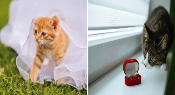 Cats in weddings   cute orange kitten under white gauze fabrics bride dress   curious grey cat looking closely at a red box with two rings