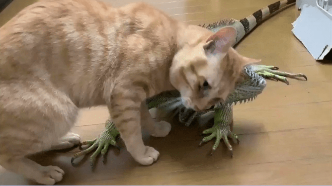 Japanese Guy Documents His Daily Life With a Giant Iguana | cute funny video of a cat rubbing against a scaly iguana lizard