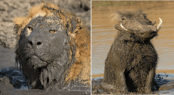Animals covered in mud | lion with its face dunked in mud | wild boar with mud all over its legs and chest