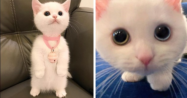cute munchkin kitten instagram heterochromia eyes beautiful adorable aww spolight