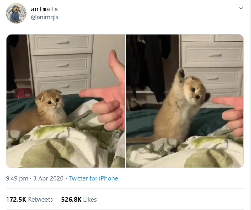 Thirty Cats Who Made The First Half Of 2020 So Much Better (Tweets) | tiny kitten being pointed at with a finger gun and putting its hands paws up animals @animqls 9:49 pm 3 Apr 2020 Twitter iPhone 172.5K Retweets 526.8K Likes