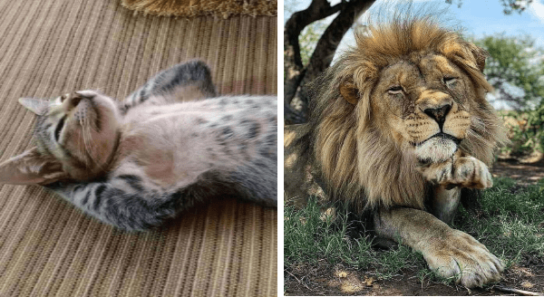 Animals Who Have Some Real Thinking To Do | cat lying on its back and lion resting its head on its paw as if lost in thought reflecting soul searching