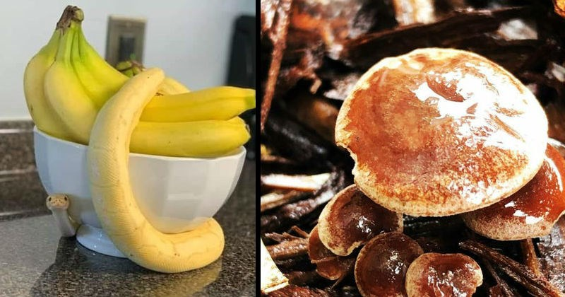 Things that look like food but aren't food | yellow snake wrapped around a bowl of bananas | mushrooms that look like pancakes with maple syrup
