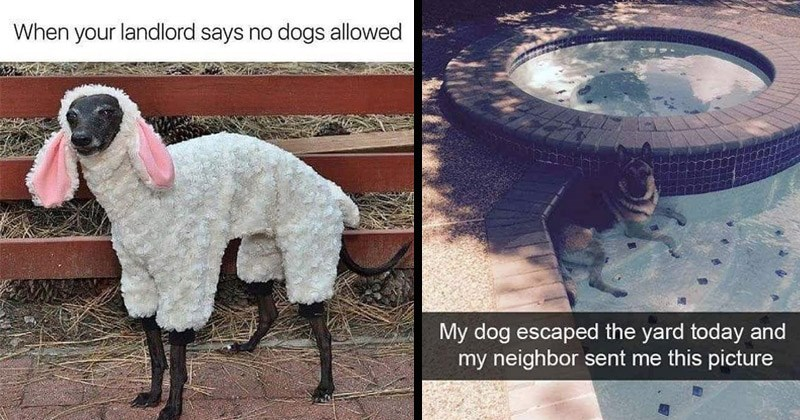 Funny and cute memes about dogs | dog wearing a sheep lamb costume landlord says no dogs allowed | My dog escaped yard today and my neighbor sent this picture dog chilling in a pool