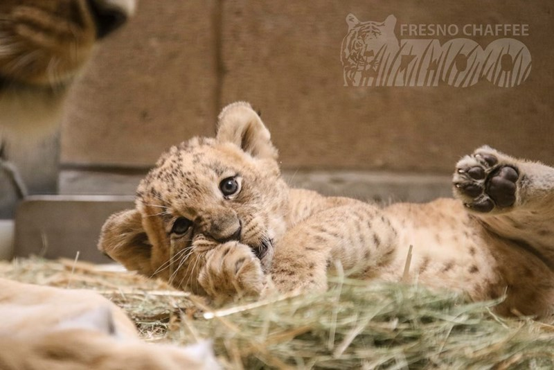 cute lion cub rolling on its back