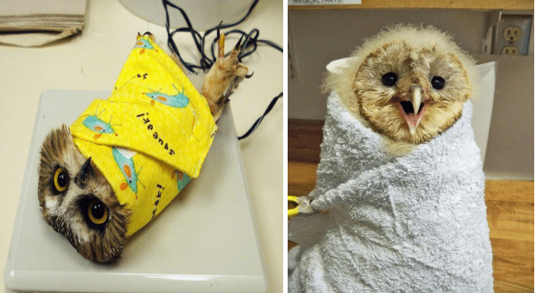 Owls wrapped in blankets | cute funny owl wrapped in a yellow blanket so it can be weighted | fuzzy baby owl in a soft blanket