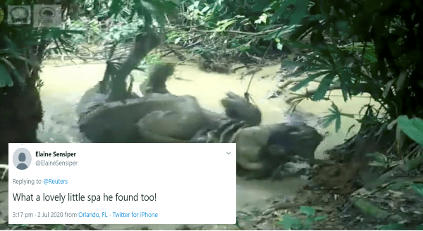Endangered Javan Rhino Was Spotted Taking a Mud Bath in Indonesia | Elaine Sensiper @ElaineSensiper Replying Reuters lovely little spa he found too! 3:17 pm 2 Jul 2020 Orlando, FL Twitter iPhone >