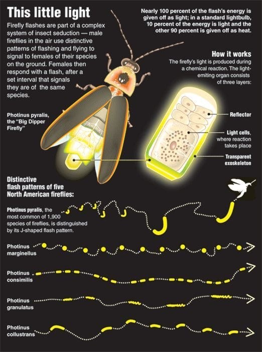 top ten daily infographics guides | Insect - This little light Nearly 100 percent flash's energy is given off as light standard lightbulb, 10 percent energy is light and Firefly flashes are part complex system insect seduction male fireflies air use distinctive patterns flashing and flying signal females their species on ground. Females then respond with flash, after set interval signals they are same works firefly's light is produced during chemical reaction light- emiting organ consists three