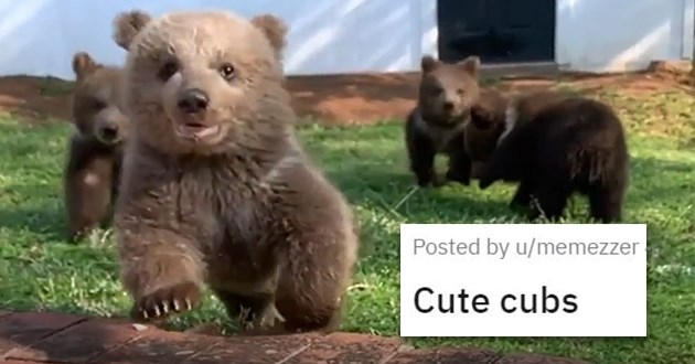 cute cuteness animals aww animal cats dogs adorable pics vids | Cute cubs brown baby bears playing in a garden