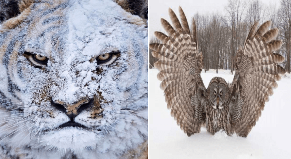 Amazing animal photos | angry tiger with its face covered in white snow | owl in the snow spreading its wings out