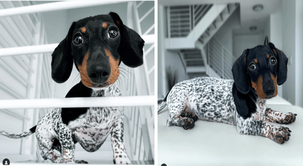 Dog that looks like a cow | adorable dachshund wiener dog with a black head and a white and black spotted body like a dalmatian cow