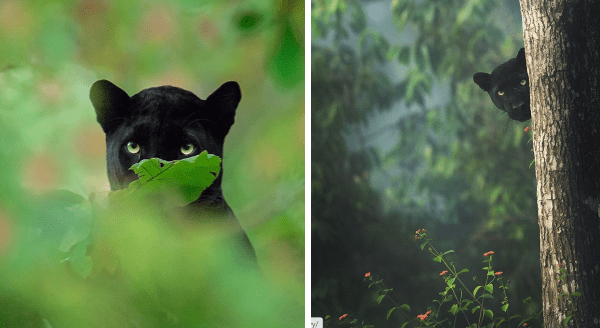 Wildlife Photographer Captures Beautiful Shots Of A Black Panther In The Jungle | peeking over a bush and from behind a tree