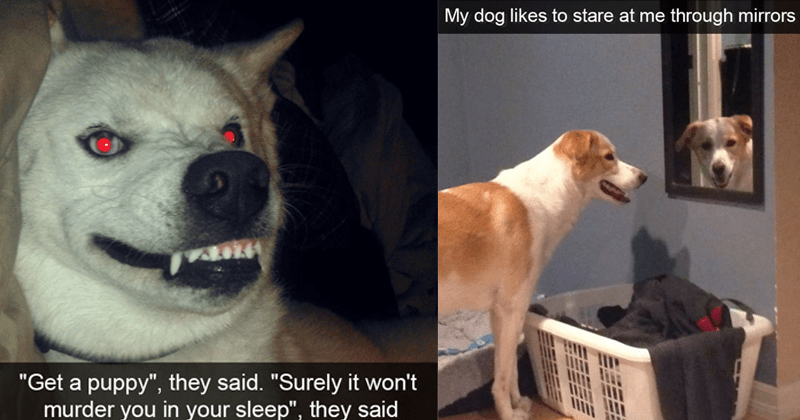 Cute and funny dog snapchats | Get puppy they said Surely won't murder sleep they said red eyed dog snarling with exposed teeth | My dog likes stare at through mirrors
