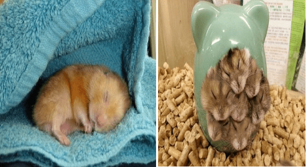Cute Hamsters Sleeping And Looking Adorably Peaceful